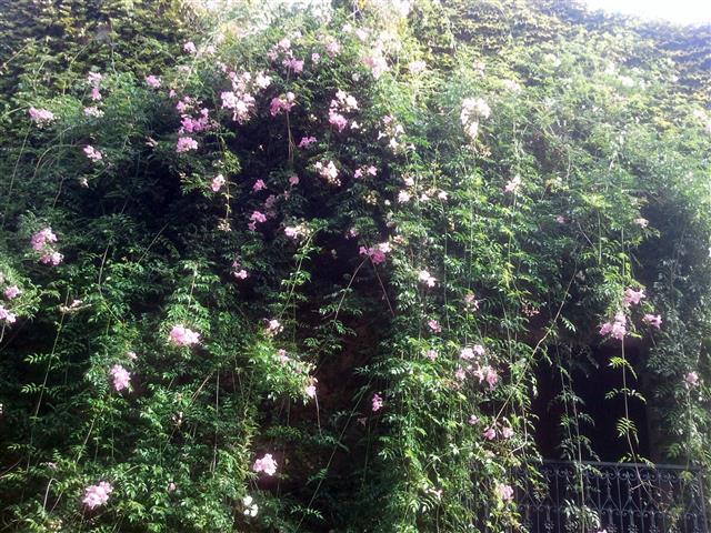 Bignone Rose AM Mengaud Cascastel