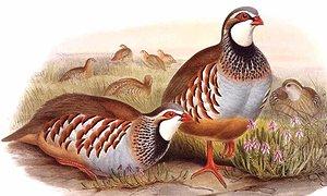 Perdrix rouge Alectoris rufa Red-legged Partridge